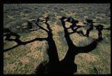 JOSHUA-TREE-40